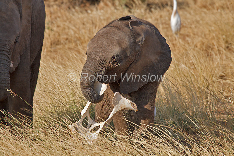 Baby African Elephant, Loxodonta africana, with what appears to be the pelvis of a cow in its trunk, Samburu National Reserve, Kenya, Africa, Proboscidea Order, Elephantidae Family
