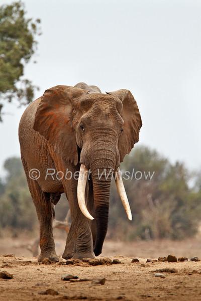 Male, African Elephant, Loxodonta africana, Large Tusks, Tsavo East National Park, Kenya, Africa, Proboscidea Order, Elephantidae Family
