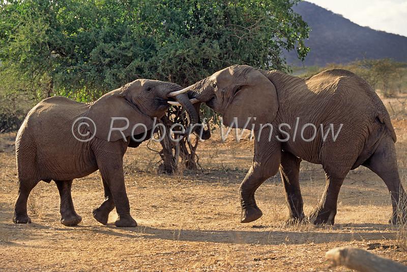 Two African Elephants, Sparring,  Loxodonta africana, Samburu National Reserve, Kenya, Africa,  Proboscidea Order, Elephantidae Family
