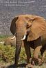 African Elephant (Loxodonta africana), Samburu National Reserve, Kenya, Africa