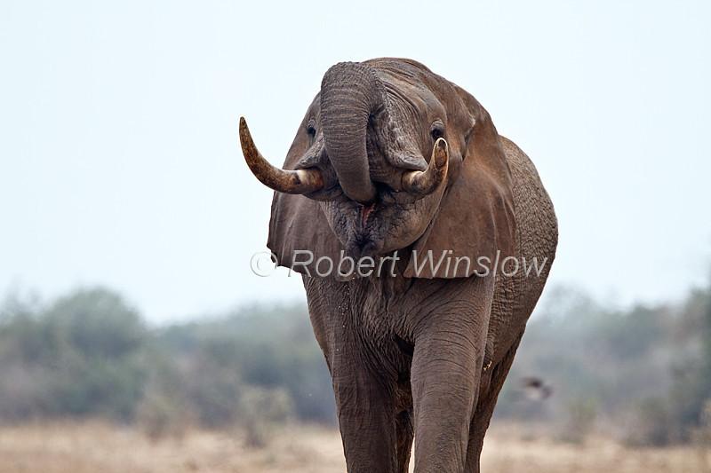 African Elephant Drinking Water, Loxodonta africana, Tsavo East National Park, Kenya, Africa, Proboscidea Order, Elephantidae Family