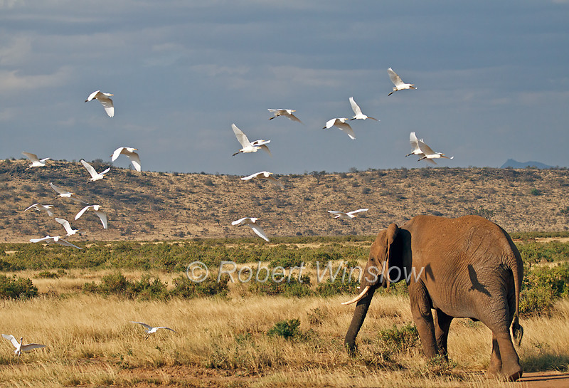 African Elephants,  Loxodonta africana, Cattle Egrets Flying, Samburu National Reserve, Kenya, Africa, Proboscidea Order, Elephantidae Family