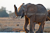 African Elephant, Loxodonta africana, at a Water Hole, Tsavo East National Park, Kenya, Africa, Proboscidea Order, Elephantidae Family