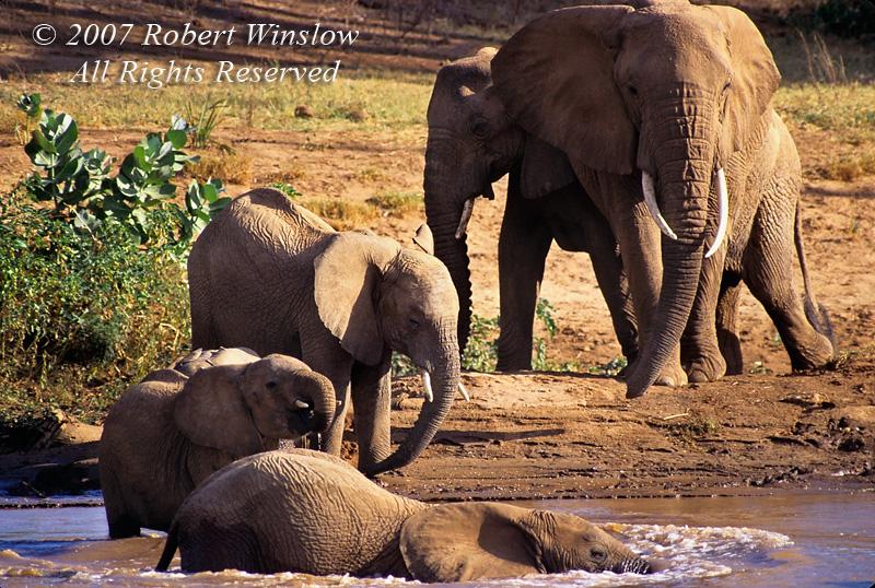 African Elephants, Loxodonta africana, Ewaso Nyiro River (aka Uaso Nyiro, Ewaso Ngiro), Samburu National Reserve, Kenya, Africa