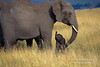 African Elephants, Mother with Baby that is less than one hour old, Masai Mara, Kenya, Africa