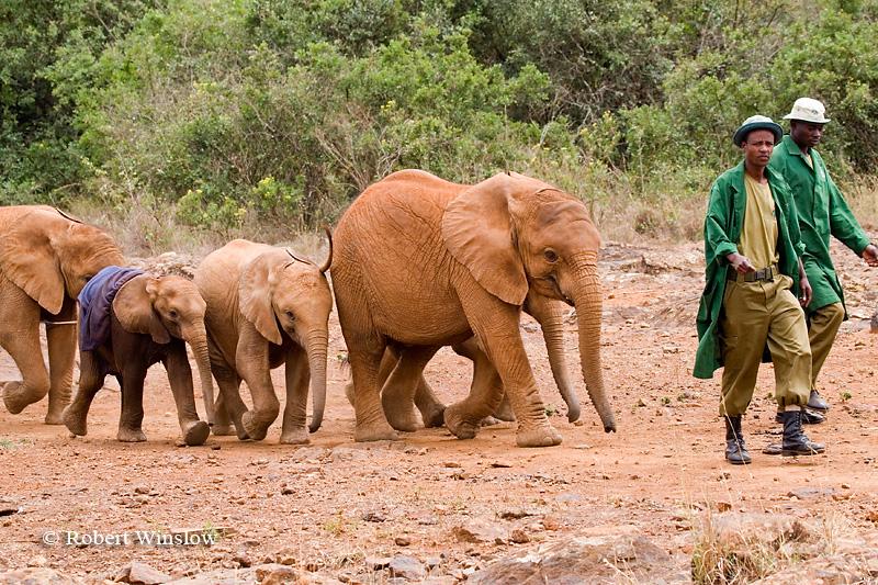 Baby African Elephants (Loxodonta africana) being led by Keepers, Daphne Sheldrick Animal Orphanage, Nairobi, Kenya, Africa
