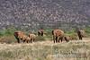 African Elephants (Loxodonta africana), Samburu National Reserve, Kenya, Africa