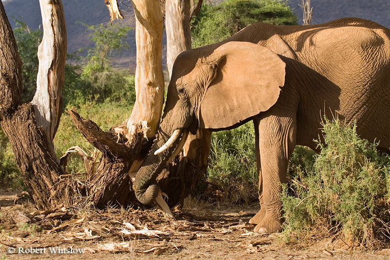 African Elephant (Loxodonta africana), Feeding but Distroying Trees, Samburu National Reserve, Kenya, Africa