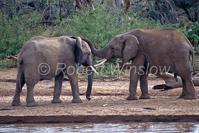 Two African Elephants, Loxodonta africana, Ewaso Nyiro River (aka Uaso Nyiro, Ewaso Ngiro), Samburu National Reserve, Kenya, Africa, Proboscidea Order, Elephantidae Family