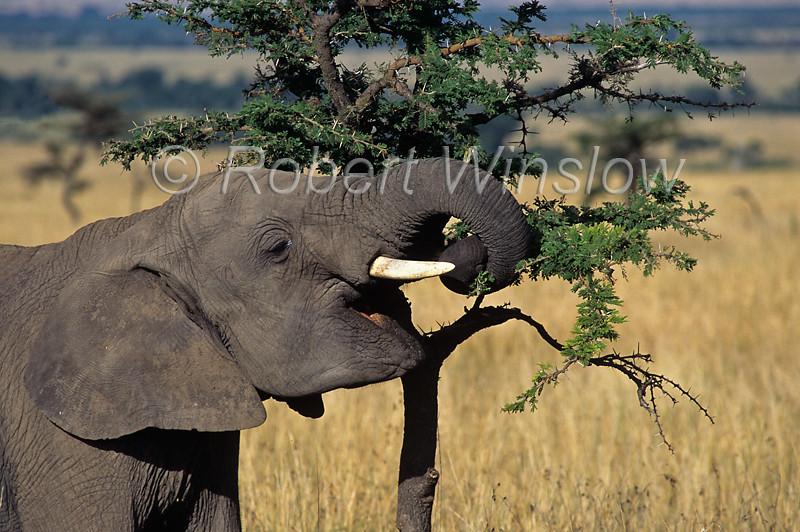 African Elephant, Loxodonta africana, Eating an Acacia Tree,  Masai Mara National Reserve, Kenya, Africa,  Proboscidea Order, Elephantidae Family