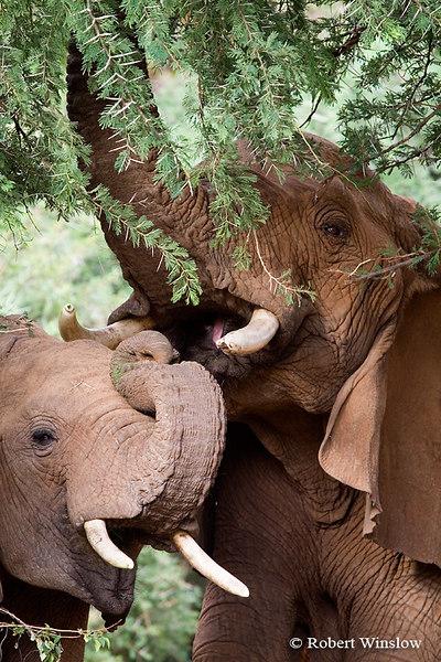 Two African Elephants (Loxodonta africana), Feeding on AcaciaTrees, Samburu National Reserve, Kenya, Africa