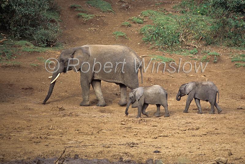 African Elephant, Loxodonta africana, Adult with two young, Mountain Lodge Waterhole, Mount Kenya National Park, Kenya, Africa,  Proboscidea Order, Elephantidae Family