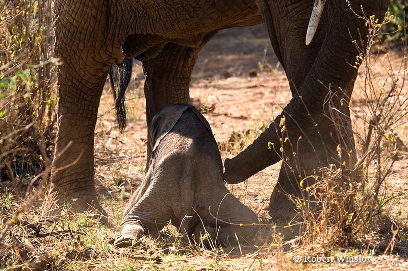 Newborn Baby African Elephant Being Helped to its Feet by its Mother (Loxodonta africana), Samburu National Reserve, Kenya, Africa