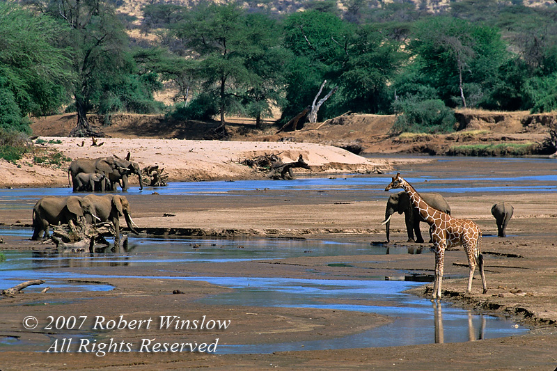 Reticulated Giraffe and African Elephants, Loxodonta africana, Ewaso Nyiro River (aka Uaso Nyiro, Ewaso Ngiro), Samburu National Reserve, Kenya, Africa