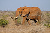Female African Elephant with a tumor on her side, Loxodonta africana, Tsavo East National Park, Kenya, Africa, Proboscidea Order, Elephantidae Family