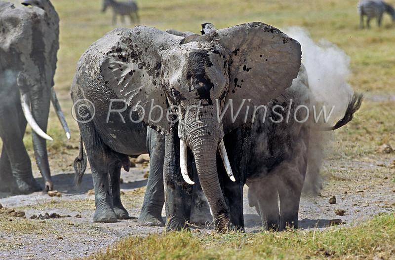 African Elephants, Loxodonta africana, Taking a Dust Bath, Amboseli National Park, Kenya, Africa, Proboscidea Order, Elephantidae Family