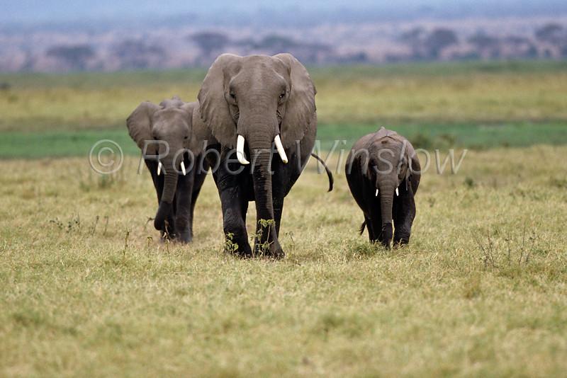 African Elephants, Loxodonta africana, Amboseli National Park, Kenya, Africa, Proboscidea Order, Elephantidae Family