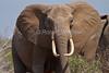 African Elephant, Loxodonta africana, Tsavo East National Park, Kenya, Africa, Proboscidea Order, Elephantidae Family