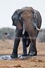 Male African Elephant, Loxodonta africana, Tsavo East National Park, Kenya, Africa, Proboscidea Order, Elephantidae Family