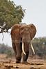 African Elephant, Loxodonta africana, Large Tusks, Tsavo East National Park, Kenya, Africa, Proboscidea Order, Elephantidae Family