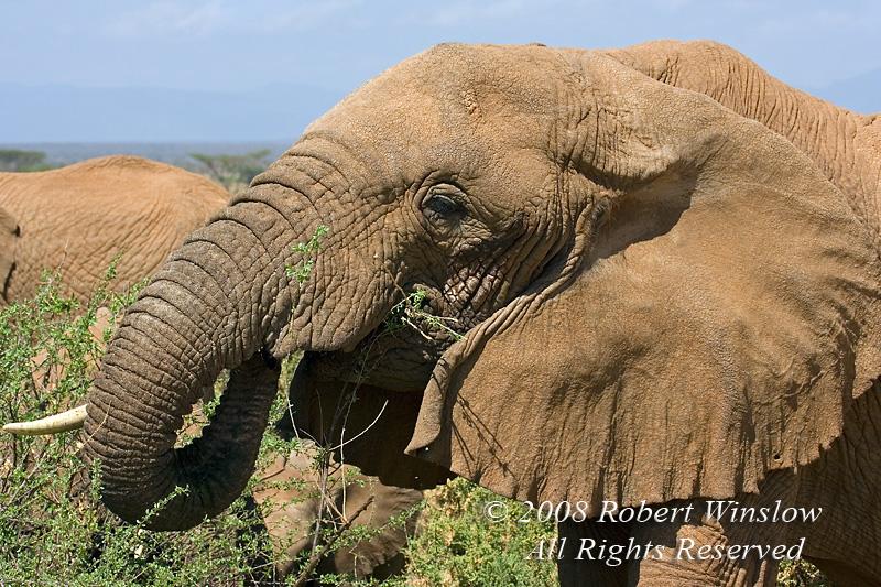 African Elephant (Loxodonta africana) With one Tusk, Eating a Tree, Samburu National Reserve, Kenya, Africa
