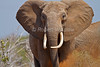 African Elephant, Dusting with Red Dirt, Loxodonta africana, Tsavo East National Park, Kenya, Africa, Proboscidea Order, Elephantidae Family
