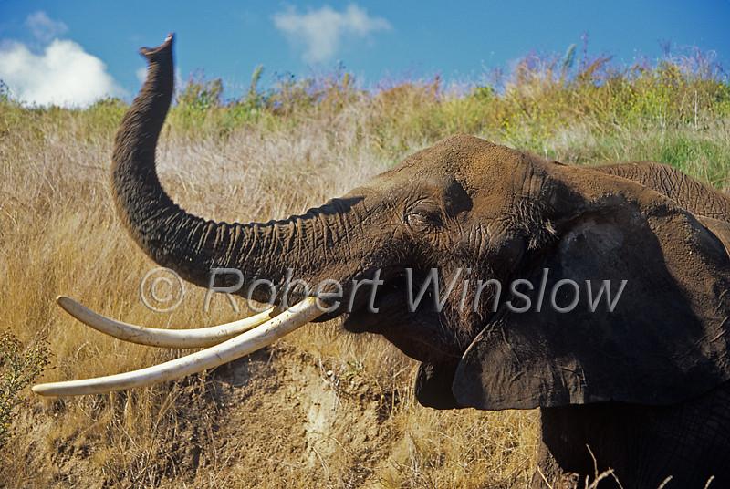 African Elephant, Loxodonta africana, Controlled Conditions, Proboscidea Order, Elephantidae Family