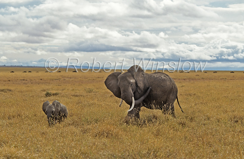 African Elephant, Loxodonta africana, Mother with Baby, Masai Mara National Reserve, Kenya, Africa,  Proboscidea Order, Elephantidae Family