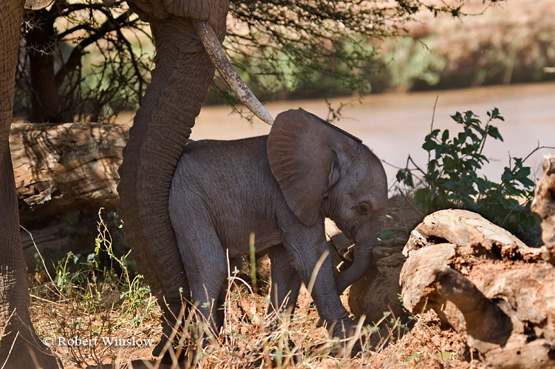 Mother Helping Baby African Elephant Over a Log, Loxodonta africana, Samburu National Reserve, Kenya, Africa