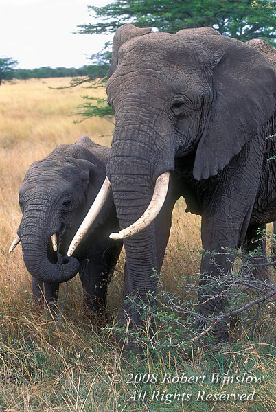 Mother with young African Elephant (Loxodonta africana), Masai Mara National Reserve, Kenya