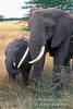 Mother with young African Elephant (Loxodonta africana), Masai Mara National Reserve, Kenya