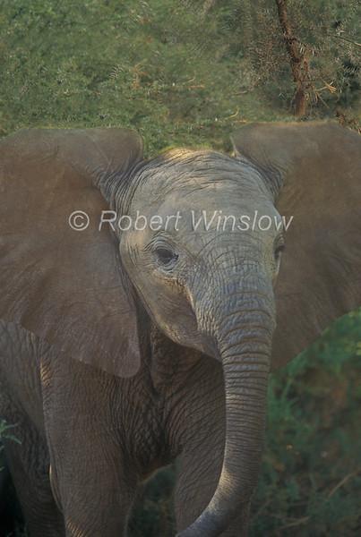 Baby African Elephant, Loxodonta africana, Samburu National Reserve, Kenya, Africa, Proboscidea Order, Elephantidae Family