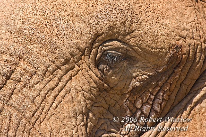 Eye, African Elephant (Loxodonta africana), Samburu National Reserve, Kenya, Africa