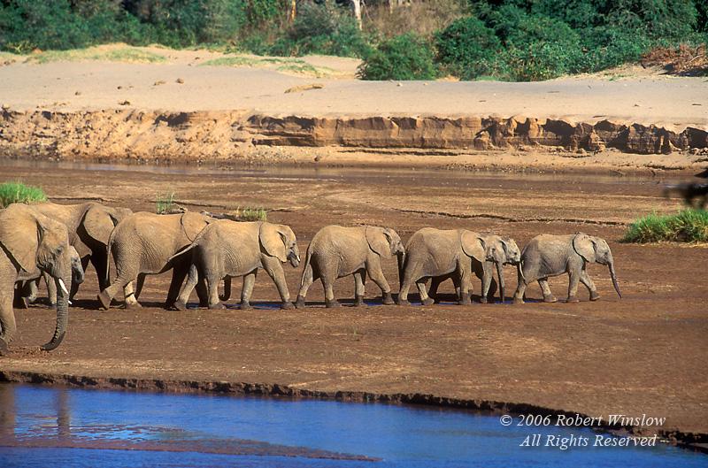Line of African Elephants (Loxondonta africana), Samburu National Reserve, Kenya