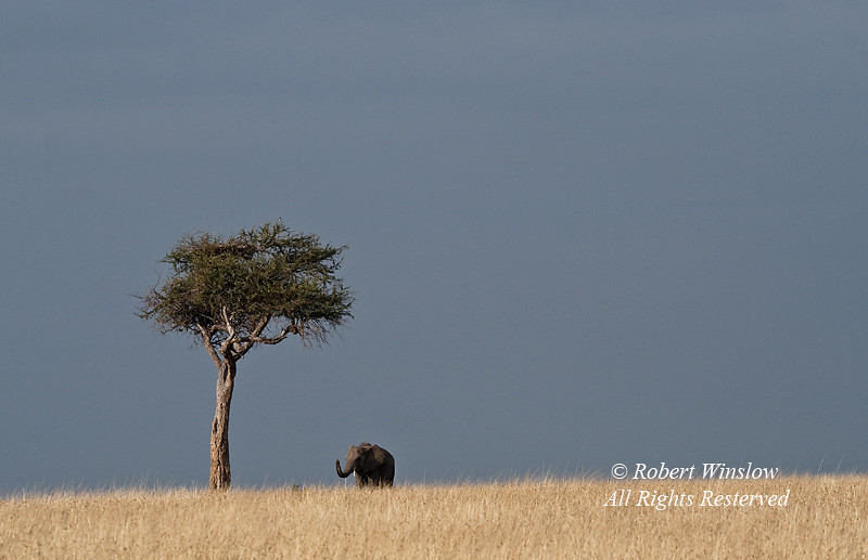 African Elephant and Acacia Tree, Masai Mara National Reserve, Kenya, Africa