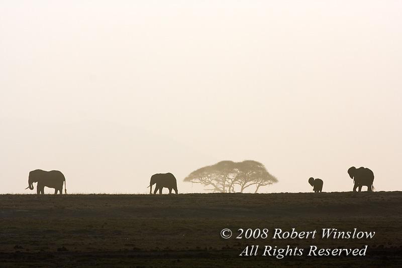 African Elephants, Loxodonta africana, Amboseli National Park, Kenya, Africa