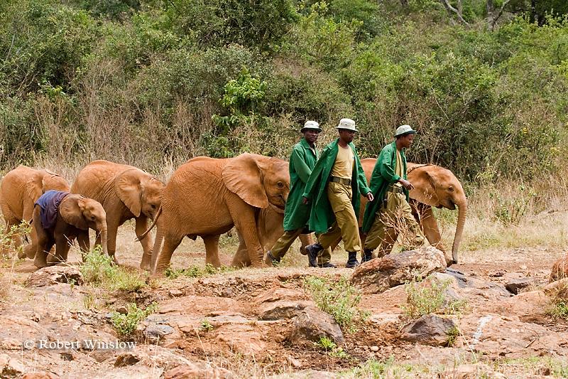 Baby African Elephants (Loxodonta africana) with Keepers, Daphne Sheldrick Animal Orphanage, Nairobi, Kenya, Africa