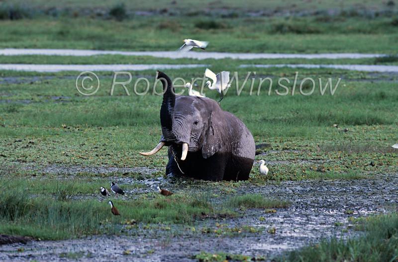 African Elephant, Loxodonta africana, In a Swamp with birds, Amboseli National Park, Kenya, Africa, Proboscidea Order, Elephantidae Family