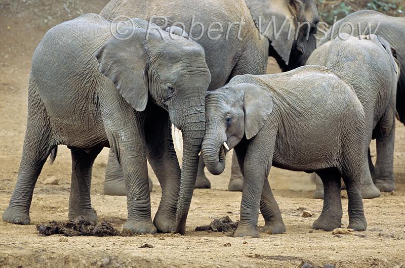 African Elephant, Loxodonta africana, Mountain Lodge Waterhole, Mount Kenya National Park, Kenya, Africa,  Proboscidea Order, Elephantidae Family