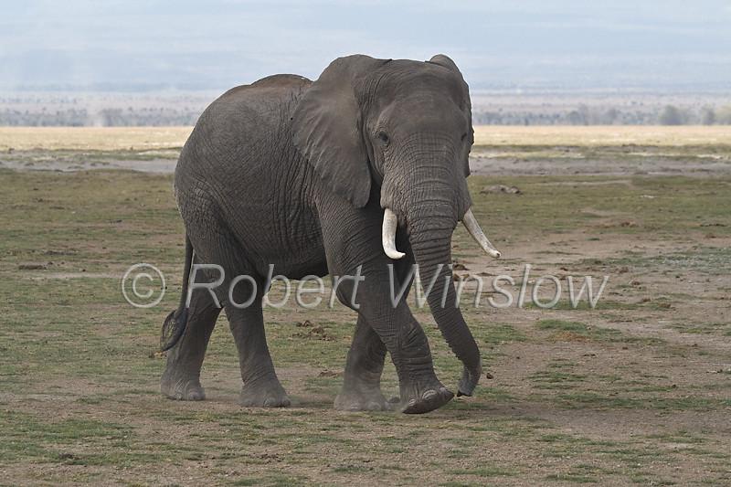 African Elephant, Loxodonta africana, Amboseli National Park, Kenya, Africa, Porboscidea Order, Elephantidae Family
