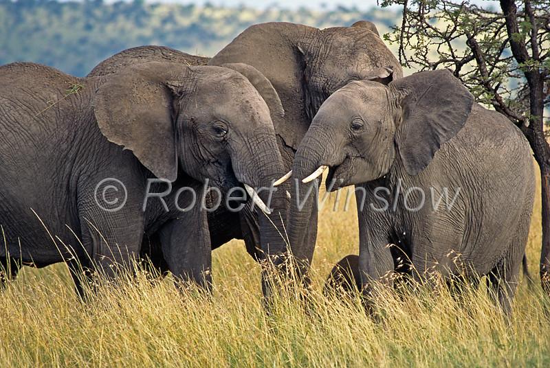 African Elephants, Loxodonta africana, Masai Mara National Reserve, Kenya, Africa,  Proboscidea Order, Elephantidae Family
