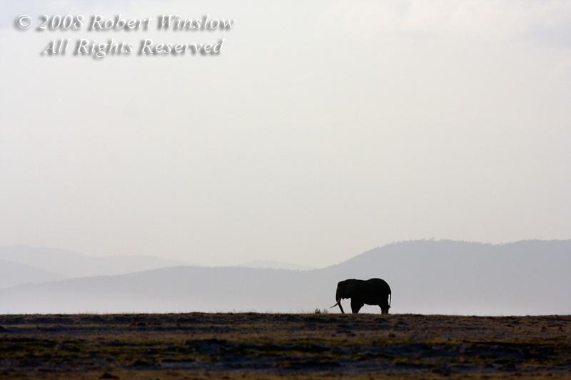 African Elephant, Loxodonta africana, Amboseli National Park, Kenya, Africa
