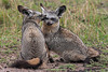 Two Bat-eared Foxes, Otocyon megalotis, Masai Mara National Reserve, Kenya, Africa