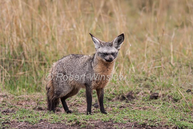 Bat-eared Fox, Otocyon megalotis, Masai Mara National Reserve, Kenya, Africa