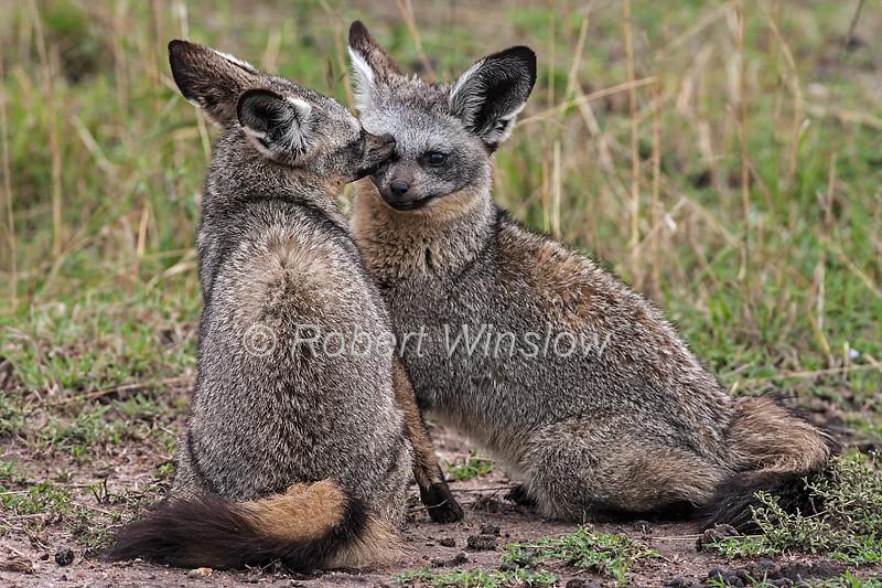 Two Bat-eared Foxes, Otocyon megalotis, Masai Mara National Reserve, Kenya, Africa