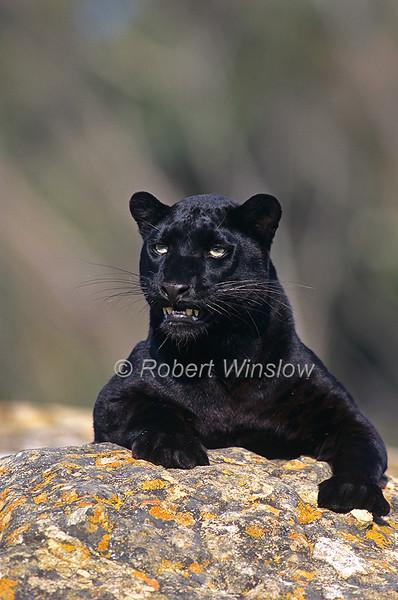Black Leopard, Panthera pardus, Melanistic Leopard, Controlled Conditions