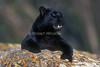 Black Leopard, Panthera pardus, Melanistic Leopard, Controlled Conditions