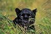 Black Leopard (Panthera pardus melas), Controlled Conditions
