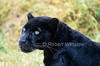 Black Leopard (Panthera pardus melas), Controlled Conditions