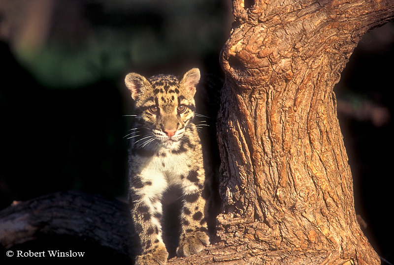 Clouded Leopard (Neofelis nebulosa), controlled conditions